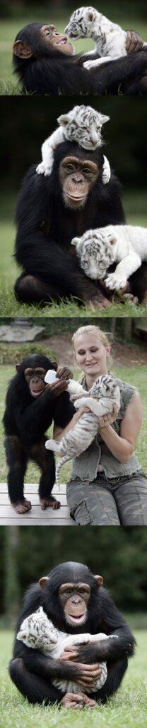 maymun ve kaplan
